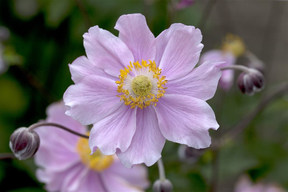 Herbstanemone 0,5 Liter Topf Anemone hupehensis /'September Charme/'