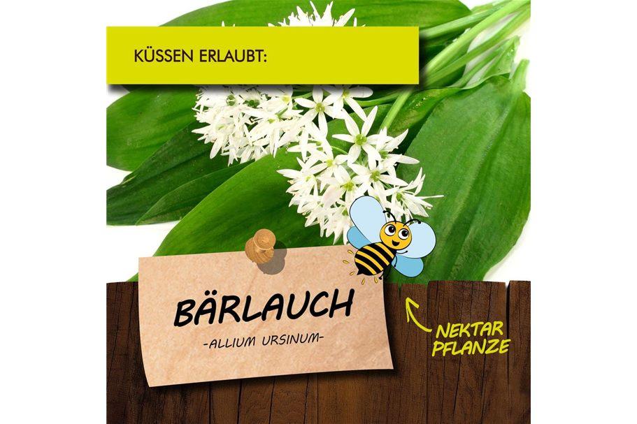 Bärlauch Pflanze  Allium ursium   Kräuter Pflanzen  1stk.